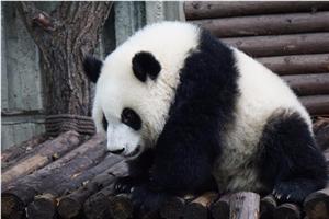朴新游学 国之公益实践四川大熊猫志愿保护者项目